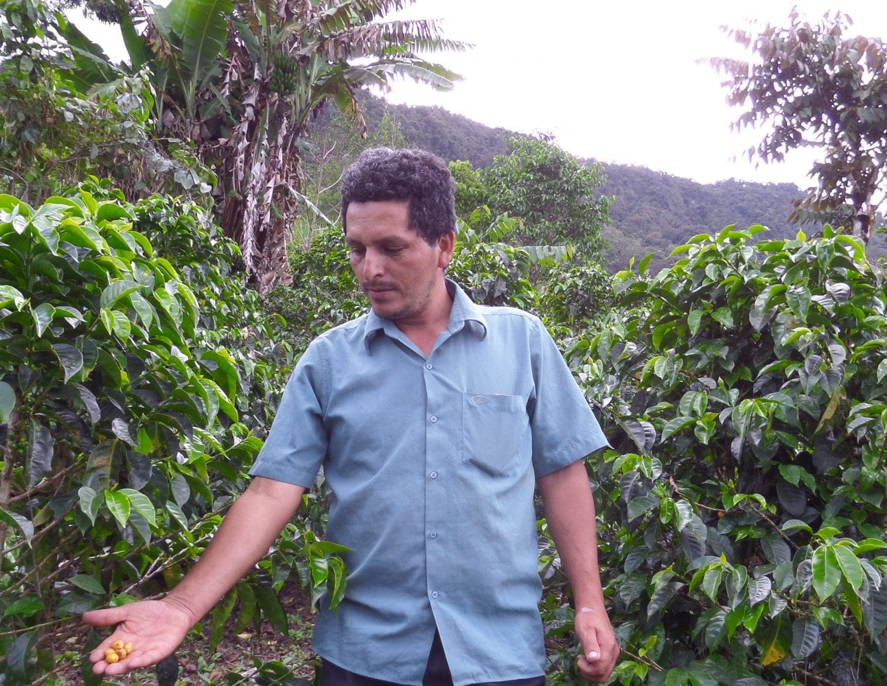 Don Jose examining some Yellow Caturra cherries