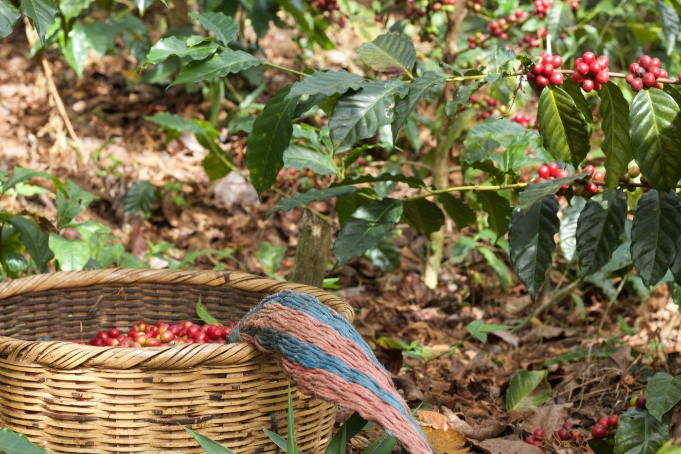Harvest producing some beautiful coffee cherries