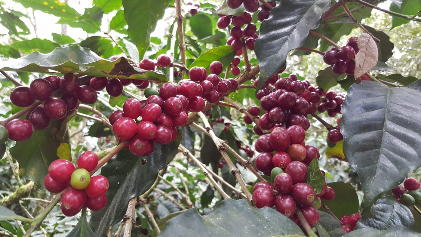 Catuai cherries at fully maturity and ready to be picked