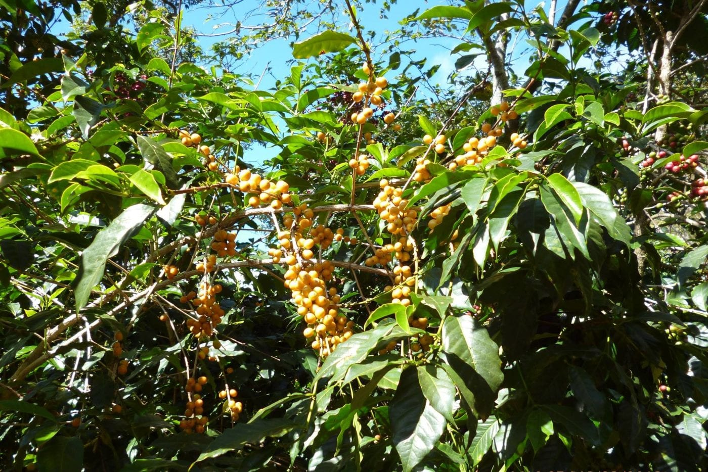 Yellow Catuai cherries ripe and ready to be harvested