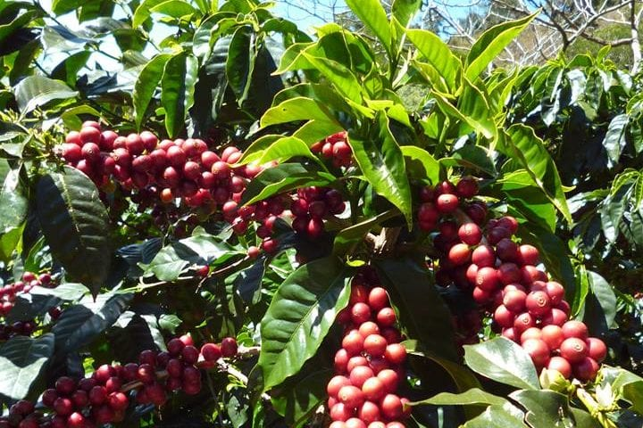 Exceptional, dense Red Catuai clusters on Finca Jerusalen