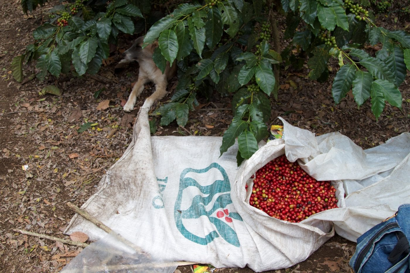 Coffee being harvest in full swing